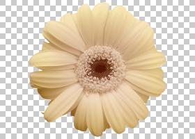 花卉剪贴画背景,非洲菊,切花,星形目,雏菊家庭,颜色,郁金香,橙色,