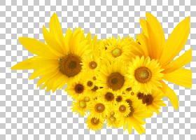 花卉剪贴画背景,非洲菊,切花,花卉设计,黄色,花卉,雏菊家庭,花瓣,