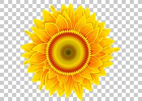 花卉剪贴画背景,非洲菊,切花,雏菊家庭,黄色,黛西,花瓣,向日葵,对