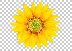 族的图形,星形目,花粉,切花,雏菊家庭,非洲菊,植物,花瓣,黄色,向