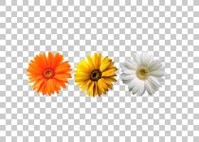 花卉剪贴画背景,非洲菊,大丽花,金盏花,黛西,雏菊家庭,花卉,向日
