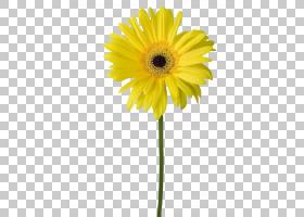 花卉剪贴画背景,非洲菊,植物茎,切花,雏菊家庭,黛西,向日葵,植物,