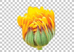 花卉剪贴画背景,非洲菊,橙色,切花,雏菊家庭,金盏花,黄色,花瓣,向