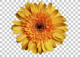 花卉剪贴画背景,非洲菊,橙色,雏菊家庭,黛西,花瓣,向日葵,花粉,花