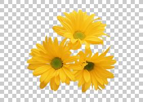 花卉剪贴画背景,非洲菊,牛眼雏菊,金盏花,黛西,玛格丽特黛西,雏菊