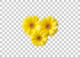 花卉剪贴画背景,非洲菊,金盏花,切花,雏菊家庭,花卉,黛西,花瓣,向