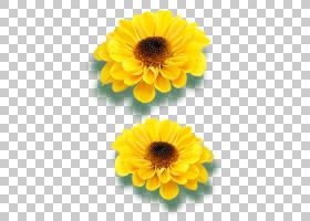 花卉剪贴画背景,非洲菊,金盏花,黄色,雏菊家庭,花瓣,向日葵,编辑,