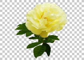族的图形,草本植物,一年生植物,蔷薇,玫瑰秩序,玫瑰家族,牡丹,植