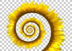 云客户端,圆,雏菊家庭,黄色,花瓣,向日葵,关门,向日葵,天空,螺旋,