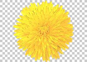 族的图形,雏菊家庭,向日葵,开花植物,切花,花粉,菊花,花瓣,播蓟,