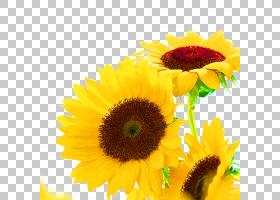 胖卡通,黄色,雏菊家庭,花瓣,向日葵,向日葵,Auglis,植物,食物,脂