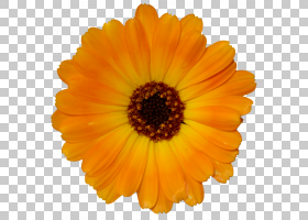 绘制背景,非洲菊,一年生植物,金盏花,雏菊家庭,花粉,葵花籽,颜色,