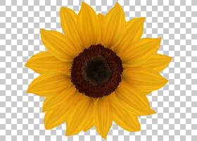 族的图形,雏菊家庭,黄色,花瓣,向日葵,关门,花粉,葵花籽,演示文稿