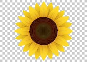 族的图形,雏菊家庭,黄色,花瓣,向日葵,对称性,关门,花,绘图,葵花
