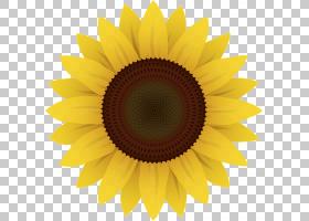 族的图形,雏菊家庭,黄色,花瓣,向日葵,对称性,关门,花粉,向日葵,