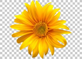族的图形,非洲菊,花粉,一年生植物,花瓣,葵花籽,雏菊家庭,向日葵,