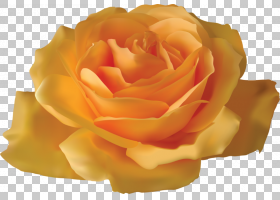 花卉剪贴画背景,floribunda,切花,蔷薇,玫瑰秩序,玫瑰家族,花园玫
