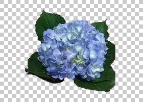 浅绿色背景,草本植物,一年生植物,花卉设计,科纳莱斯,Hydrangeace