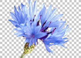 蓝色水彩花,花粉,紫菀,蓟,花瓣,植物群,菊苣,紫色,植物,蓝色,矢车