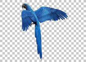 金色背景,长尾鹦鹉,尾巴,钴蓝,机翼,电蓝,鹦鹉,颜色,蓝色,金刚鹦