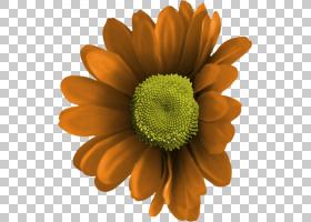 红色背景,花粉,向日葵,黛西,非洲菊,雏菊家庭,黄色,花瓣,德兰士瓦