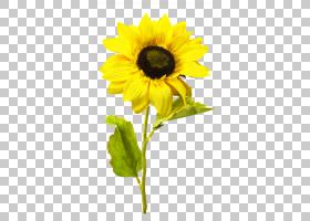 红花,一年生植物,植物茎,花瓣,植物,雏菊家庭,黄色,向日葵,向日葵