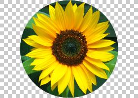 红花,花瓣,向日葵,雏菊家庭,向日葵,反射,食用花卉,假炭疽菌,红向