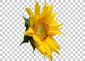红花,静物摄影,花瓣,向日葵,花粉,向日葵,红向日葵,雏菊家庭,葵花