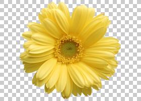 红花,向日葵,花粉,牛眼雏菊,切花,玛格丽特黛西,花瓣,非洲菊,Blac