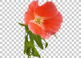 花卉剪贴画背景,草本植物,一年生植物,罂粟,植物茎,野花,罂粟家族