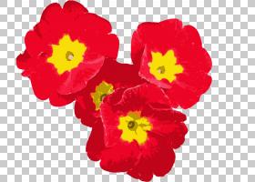 绿花,报春花,草本植物,一年生植物,报春花,植物,洋红色,蓝色,绿色