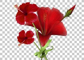 花卉剪贴画背景,草本植物,梅洛家族,粉红色家庭,种子植物,一年生