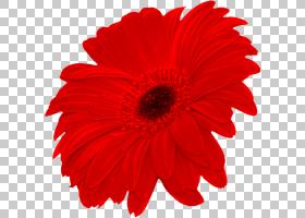花卉剪贴画背景,非洲菊,切花,雏菊家庭,花瓣,植物,德兰士瓦雏菊,