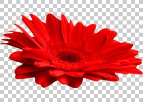 花卉剪贴画背景,非洲菊,切花,雏菊家庭,花瓣,红色,颜色,花,Adobe
