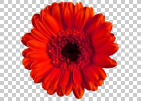 花卉剪贴画背景,非洲菊,橙色,切花,花瓣,桃子,颜色,牛眼雏菊,雏菊