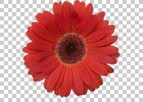 花卉剪贴画背景,非洲菊,橙色,切花,雏菊家庭,黛西,花瓣,桃子,花园