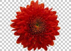 花卉剪贴画背景,非洲菊,毯子花,大丽花,橙色,切花,一年生植物,雏