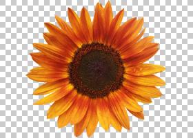 红花,橙色,向日葵,关门,花粉,向日葵,花序,雏菊家庭,螺母,花瓣,种