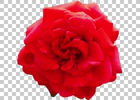 红色水彩花,多年生植物,山茶花,粉红色家庭,洋红色,人造花,玫瑰秩