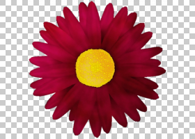 紫色水彩花,草本植物,花粉,洋红色,黛西,雏菊家庭,非洲菊,植物,花