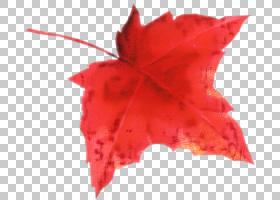 红枫叶,肥皂浆果家族,胭脂红,木本植物,植物,树,枫树,加拿大金枫