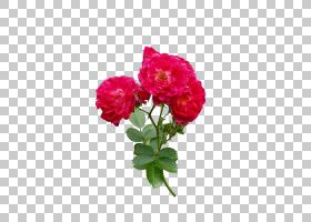 粉红色花卉背景,草本植物,一年生植物,粉红色家庭,洋红色,蔷薇,切