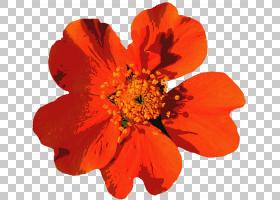 夏季自然背景,一年生植物,橙色,玫瑰家族,自然,花瓣,切花,植物,夏