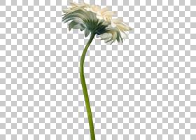 花卉剪贴画背景,非洲菊,花盆,植物群,普通雏菊,槟榔,花瓣,植物茎,