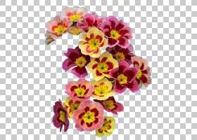 春花,报春花,草本植物,一年生植物,洋红色,插花,切花,潘西,花卉设