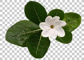 佛兰花,叶,植物,栀子,香水香水,檀香,大溪地,化妆品,奶油,花卉设
