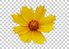 黑白花,金盏花,雏菊家庭,花瓣,向日葵,红色,黑白,蜡,花,白色,菊花