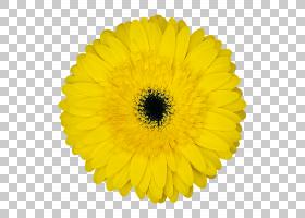 黑白花,黑白,非洲菊,一年生植物,金盏花,黛西,雏菊家庭,花瓣,向日