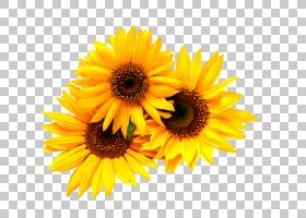 黑白花,黑白,非洲菊,黛西,雏菊家庭,切花,花瓣,向日葵,葵花籽,白