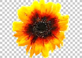 黄色背景,非洲菊,橙色,雏菊家庭,金盏花,花瓣,向日葵,葵花籽,德兰